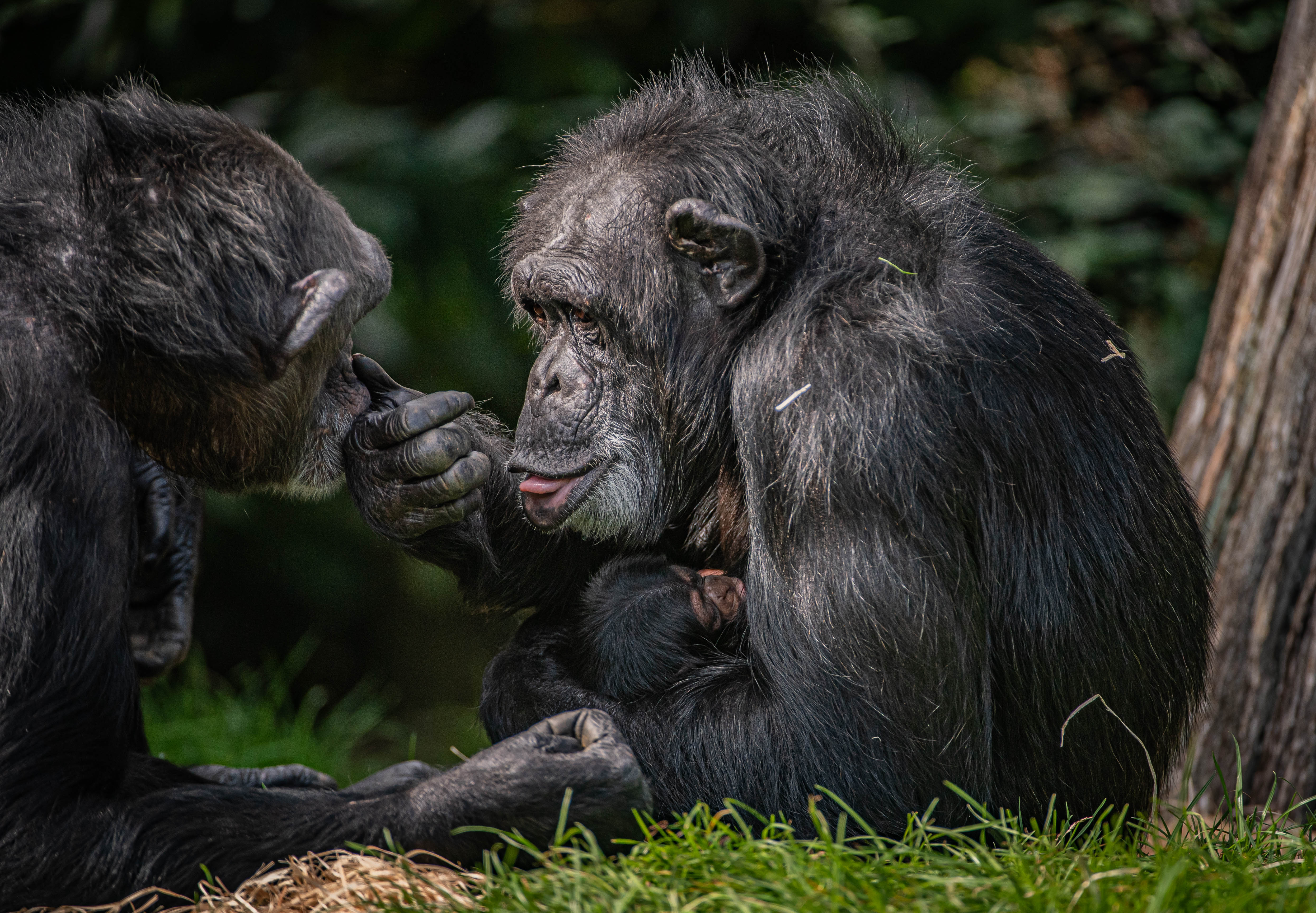 Critically endangered baby chimpanzee born at Chester Zoo