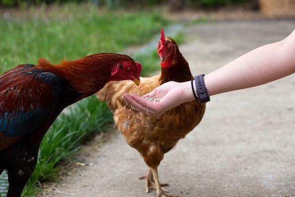 Bird flu outbreak – poultry and pet birds must be kept indoors